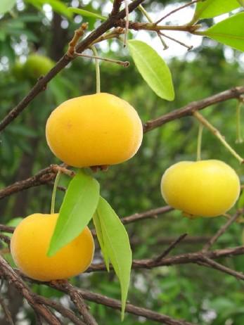 Importância da uvaieira